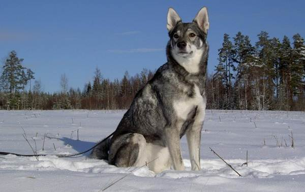 Охотничьи-породы-собак-Описания-названия-и-виды-охотничьих-собак-53
