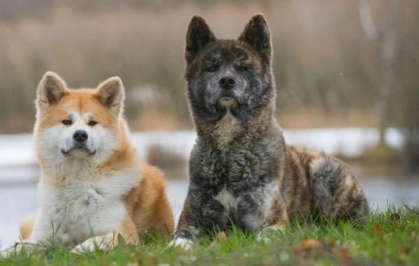 Охотничьи-породы-собак-Описания-названия-и-виды-охотничьих-собак-55
