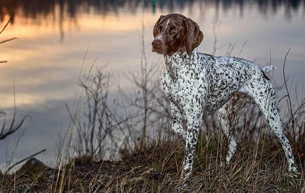 Охотничьи-породы-собак-Описания-названия-и-виды-охотничьих-собак-6