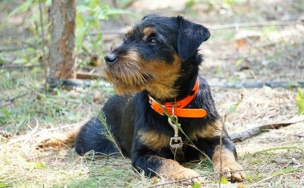 Охотничьи-породы-собак-Описания-названия-и-виды-охотничьих-собак-61