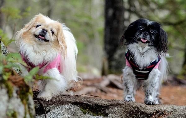 Пекинес-собака-Описание-особенности-виды-цена-и-уход-за-пекинесом-1