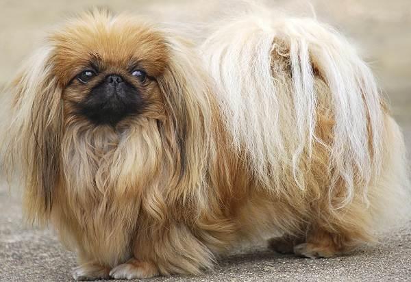 Пекинес-собака-Описание-особенности-виды-цена-и-уход-за-пекинесом-10