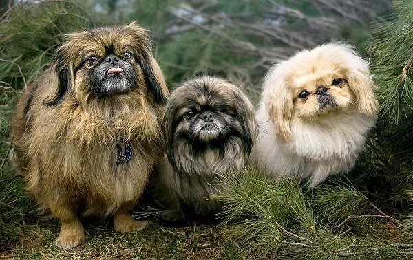 Пекинес-собака-Описание-особенности-виды-цена-и-уход-за-пекинесом-14