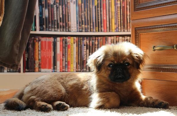 Пекинес-собака-Описание-особенности-виды-цена-и-уход-за-пекинесом-15