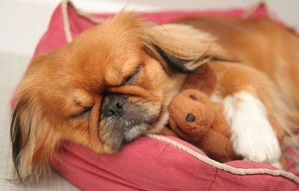 Пекинес-собака-Описание-особенности-виды-цена-и-уход-за-пекинесом-16