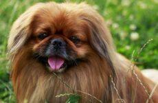 Пекинес собака. Описание, особенности, виды, цена и уход за пекинесом