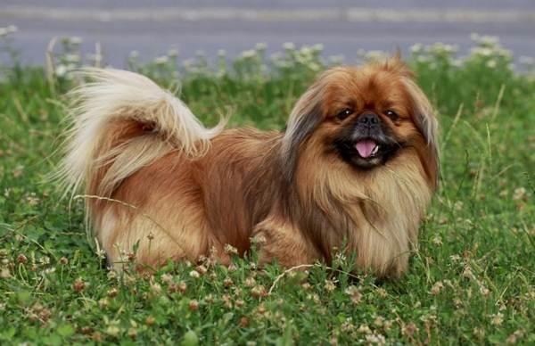 Пекинес-собака-Описание-особенности-виды-цена-и-уход-за-пекинесом-3