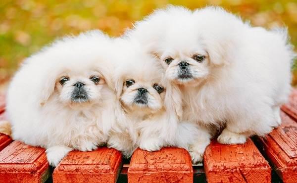 Пекинес-собака-Описание-особенности-виды-цена-и-уход-за-пекинесом-4