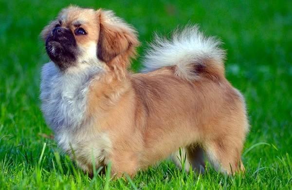 Пекинес-собака-Описание-особенности-виды-цена-и-уход-за-пекинесом-7