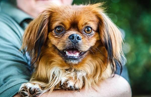 Пекинес-собака-Описание-особенности-виды-цена-и-уход-за-пекинесом-8
