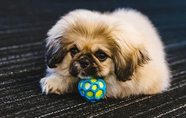 Пекинес-собака-Описание-особенности-виды-цена-и-уход-за-пекинесом-9