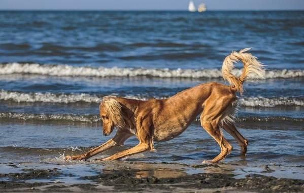 Салюки-собака-Описание-особенности-виды-уход-и-содержание-породы-салюки-11