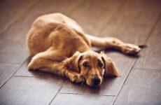 Салюки собака. Описание, особенности, виды, уход и содержание породы салюки
