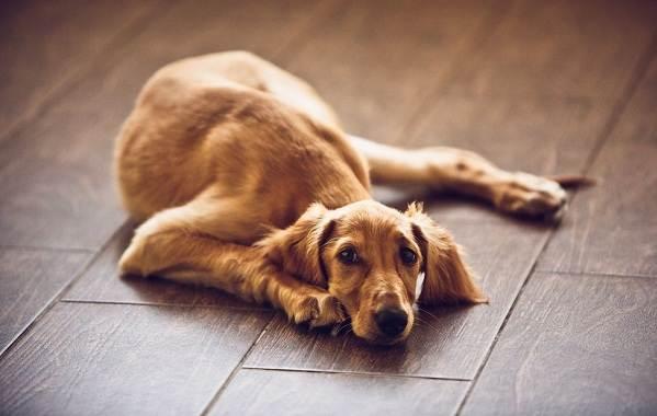 Салюки-собака-Описание-особенности-виды-уход-и-содержание-породы-салюки-12