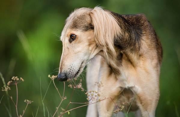 Салюки-собака-Описание-особенности-виды-уход-и-содержание-породы-салюки-14