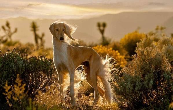Салюки-собака-Описание-особенности-виды-уход-и-содержание-породы-салюки-15