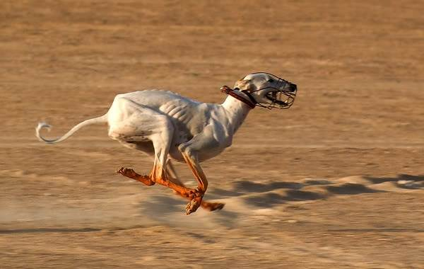 Салюки-собака-Описание-особенности-виды-уход-и-содержание-породы-салюки-3