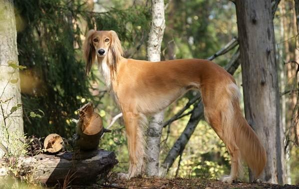 Салюки-собака-Описание-особенности-виды-уход-и-содержание-породы-салюки-4