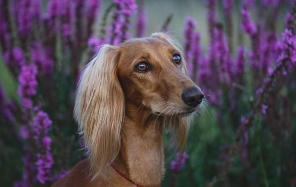 Салюки-собака-Описание-особенности-виды-уход-и-содержание-породы-салюки-6