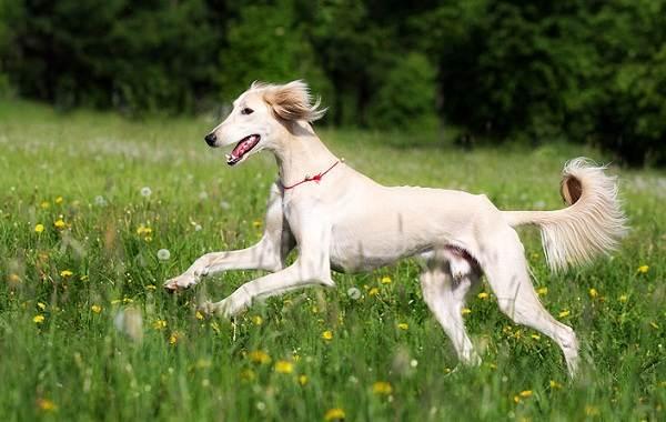 Салюки-собака-Описание-особенности-виды-уход-и-содержание-породы-салюки-7