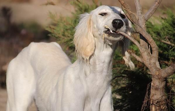 Салюки-собака-Описание-особенности-виды-уход-и-содержание-породы-салюки-9