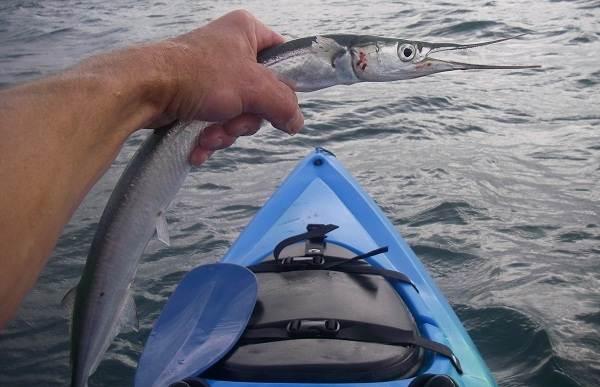 Сарган-рыба-Описание-особенности-виды-образ-жизни-и-среда-обитания-рыбы-сарган-10