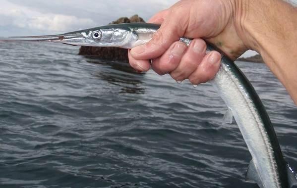 Сарган-рыба-Описание-особенности-виды-образ-жизни-и-среда-обитания-рыбы-сарган-6