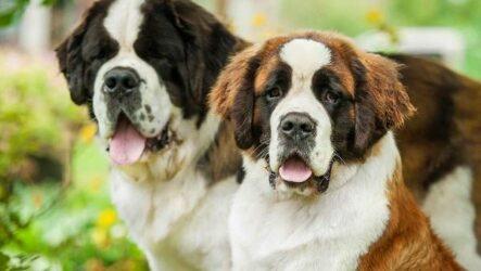 Сенбернар собака. Описание, особенности, уход и содержание сенбернара