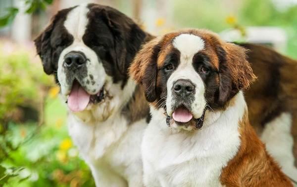 Сенбернар-собака-Описание-особенности-уход-и-содержание-сенбернара-11