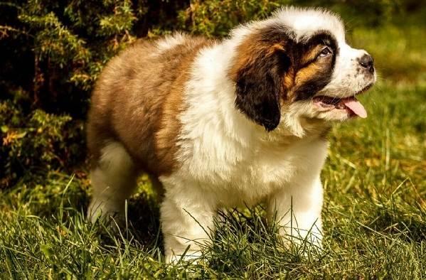 Сенбернар-собака-Описание-особенности-уход-и-содержание-сенбернара-12