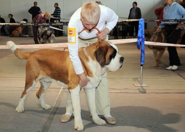 Сенбернар-собака-Описание-особенности-уход-и-содержание-сенбернара-15