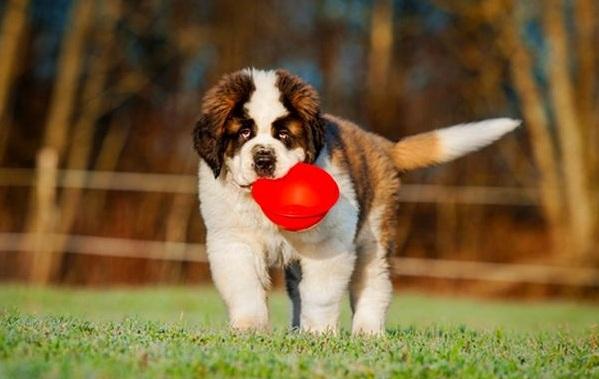 Сенбернар-собака-Описание-особенности-уход-и-содержание-сенбернара-18
