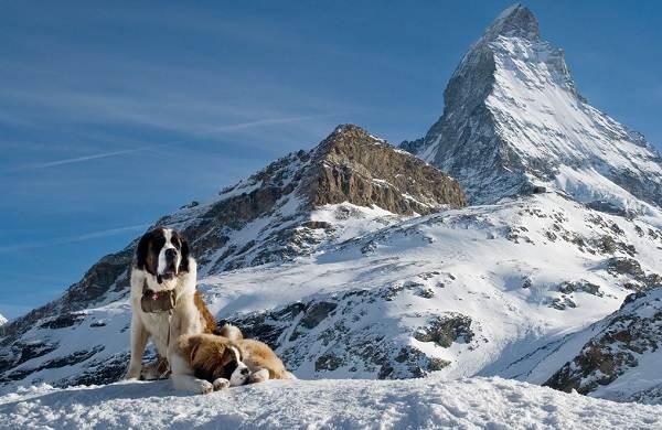 Сенбернар-собака-Описание-особенности-уход-и-содержание-сенбернара-2