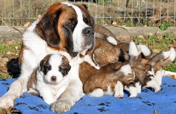 Сенбернар-собака-Описание-особенности-уход-и-содержание-сенбернара-21