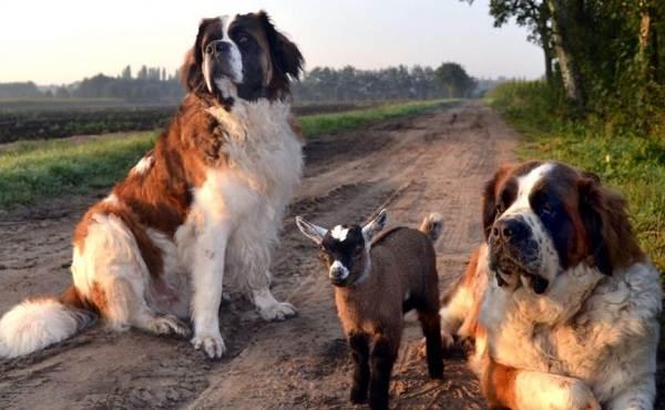 Сенбернар-собака-Описание-особенности-уход-и-содержание-сенбернара-5