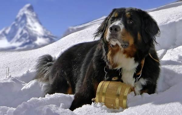 Сенбернар-собака-Описание-особенности-уход-и-содержание-сенбернара-6