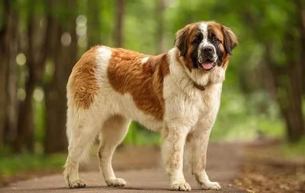 Сенбернар-собака-Описание-особенности-уход-и-содержание-сенбернара-8