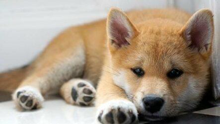 Шиба-ину собака. Описание, особенности, цена, уход и содержание породы шиба-ину