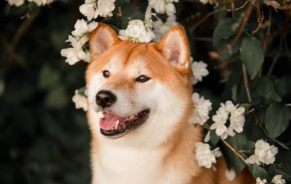 Шиба-ину-собака-Описание-особенности-цена-уход-и-содержание-породы-шиба-ину-26