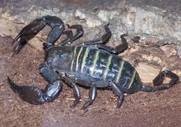 Скорпион-животное-Описание-особенности-виды-образ-жизни-и-среда-обитания-скорпиона-10