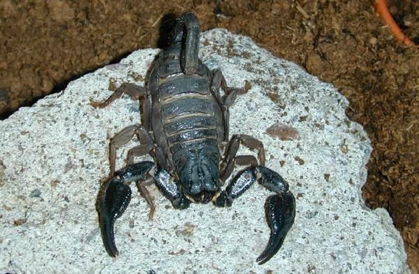 Скорпион-животное-Описание-особенности-виды-образ-жизни-и-среда-обитания-скорпиона-11