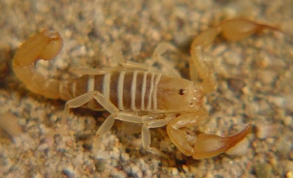 Скорпион-животное-Описание-особенности-виды-образ-жизни-и-среда-обитания-скорпиона-13