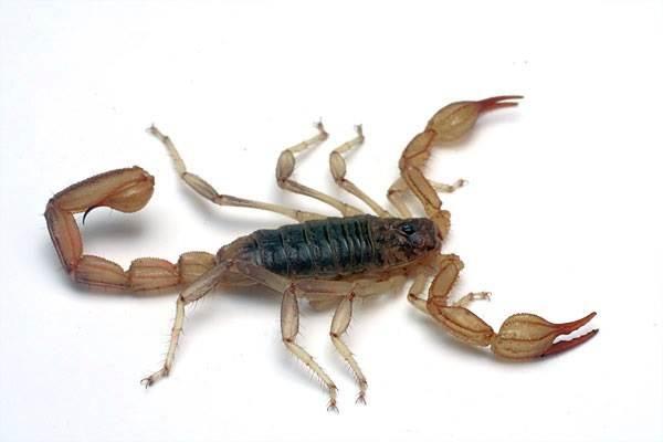 Скорпион-животное-Описание-особенности-виды-образ-жизни-и-среда-обитания-скорпиона-16