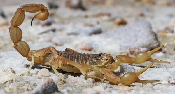 Скорпион-животное-Описание-особенности-виды-образ-жизни-и-среда-обитания-скорпиона-17