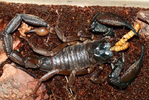 Скорпион-животное-Описание-особенности-виды-образ-жизни-и-среда-обитания-скорпиона-18