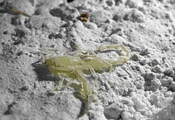 Скорпион-животное-Описание-особенности-виды-образ-жизни-и-среда-обитания-скорпиона-2