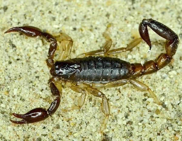 Скорпион-животное-Описание-особенности-виды-образ-жизни-и-среда-обитания-скорпиона-3