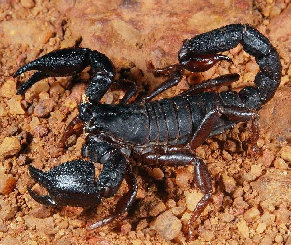 Скорпион-животное-Описание-особенности-виды-образ-жизни-и-среда-обитания-скорпиона-6