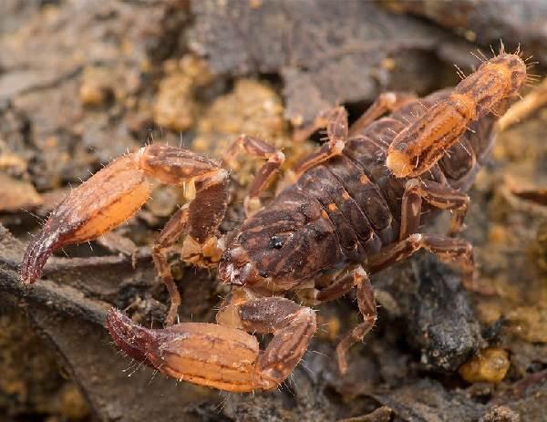 Скорпион-животное-Описание-особенности-виды-образ-жизни-и-среда-обитания-скорпиона-7