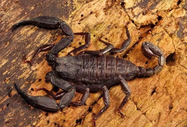 Скорпион-животное-Описание-особенности-виды-образ-жизни-и-среда-обитания-скорпиона-8